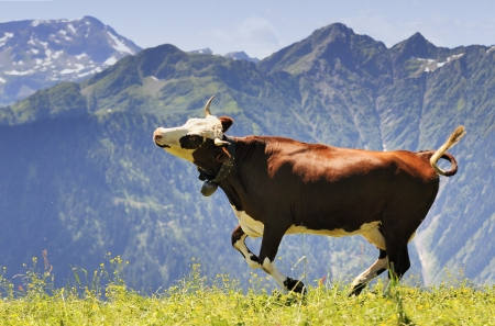 happy cow running and jumping out of winter stable into meadow