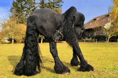friesian: Friesian black horse in the field near a cottage Stock Photo