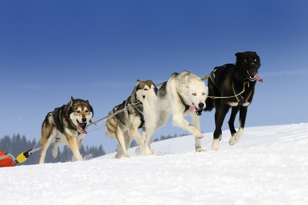 huskys: sportive dog team is running in the snow