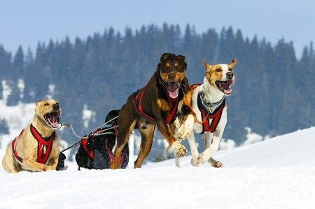sportive dog team is running in the snow photo