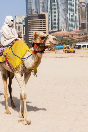 emirates: Camel in the famous Dubai modern city, United Arab Emirates