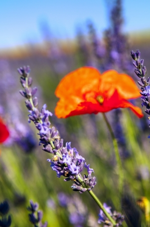 close-up of poppy flower and lavender in nature, Provence, France photo