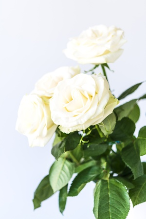 bouquet of beautiful and tenderly white roses