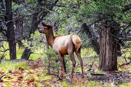 deer in west american in autumn photo