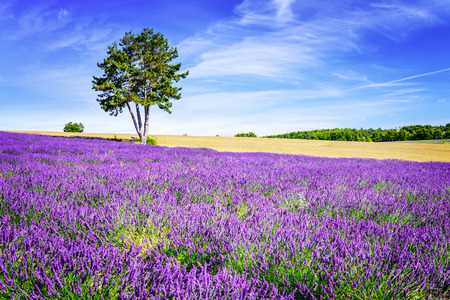 Champ de lavande en Provence, près de Sault, France Banque d'images - 33793479