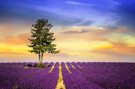 lavender field: Lavender field in Provence, near Sault, France