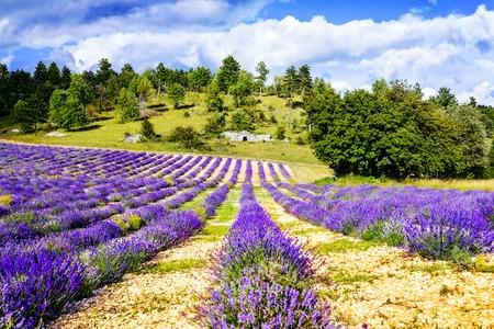 lavande: Lavender field in Provence, near Sault, France