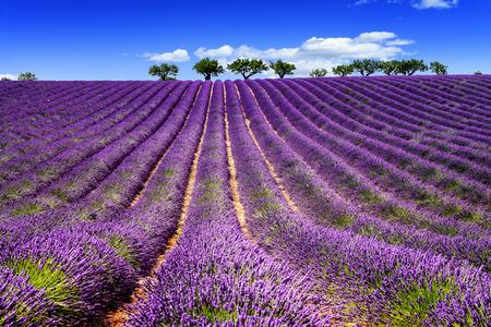 Lawendowe pole w Prowansji, w pobliżu Sault, Francja Zdjęcie Seryjne