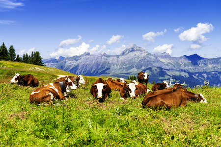 Cow, farm animal in the french alps, Abondance race cow, savy, beaufort sur Doron