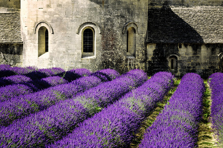 luberon: Abbey of Senanque and blooming rows lavender flowers. Gordes, Luberon, Vaucluse, Provence, France.