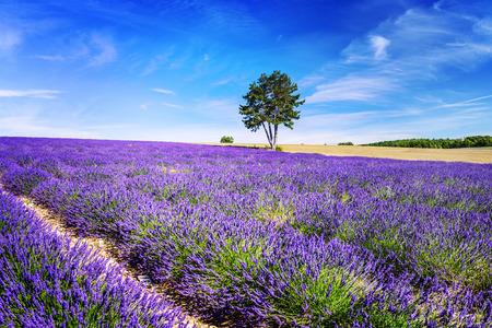 flor morada: Campo de lavanda en Provence, cerca de Sault, Francia