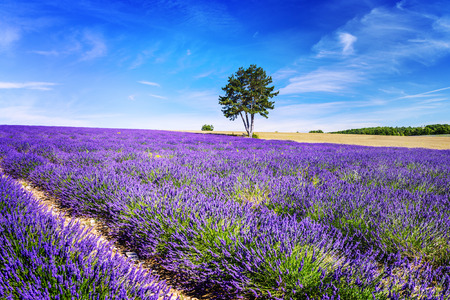 blooming  purple: Lavender field in Provence, near Sault, France