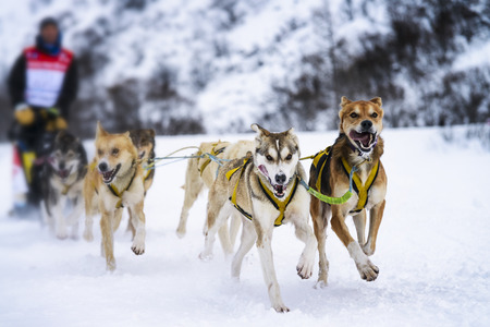 mushing: musher dogteam driver and Siberian husky at snow winter competition race in forest Stock Photo