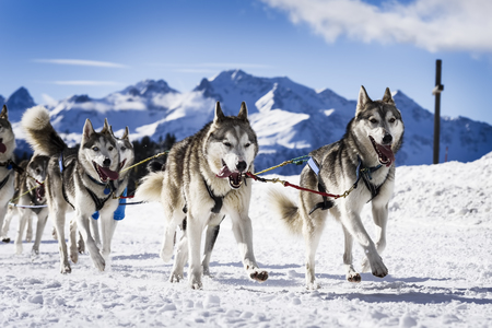 musher dogteam driver and Siberian husky at snow winter competition race in forest Foto de archivo
