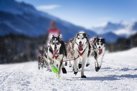 sled dogs: sporting dog team is running in the snow