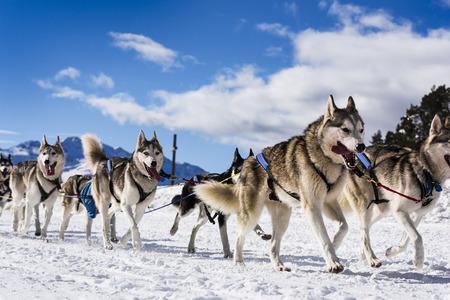 Musher Hundeteam Fahrer und Siberian Husky auf Schnee Winter Wettbewerb Rennen in Wald