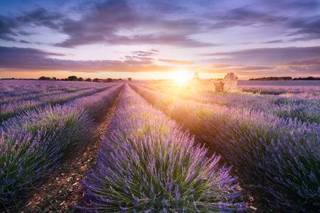 Lawendowe pole w Prowansji, niedaleko Sault, Francja