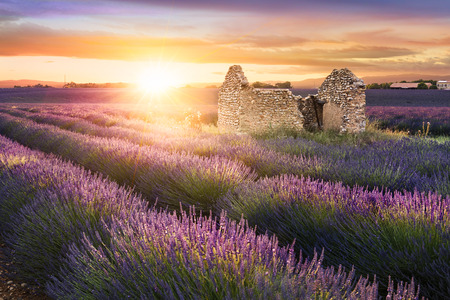 field sunset: Sun is setting over a beautiful purple lavender filed in Valensole. Provence, France