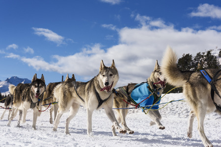 sled dog: musher dogteam driver and Siberian husky at snow winter competition race in forest Stock Photo