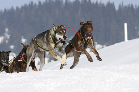 mushing: sporting dog team is running in the snow