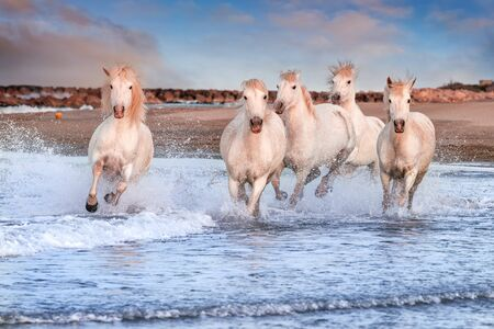 Des chevaux blancs galopent dans l'eau sur toute la mer en Camargue, en France.