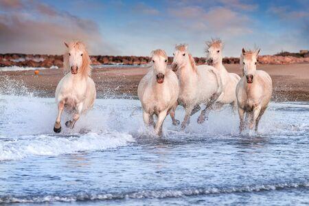 Weiße Pferde galoppieren im Wasser über das ganze Meer in der Camargue, Frankreich.