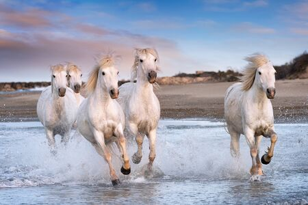 White horses are galoping in the water  all over the sea in Camargue, France. Stock Photo