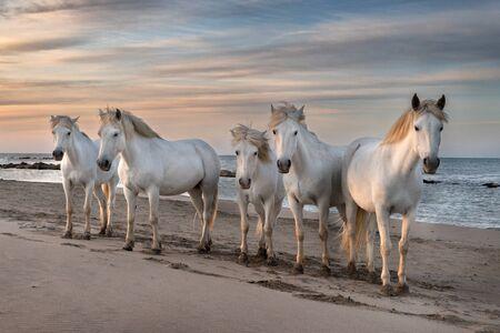Troupeau de chevaux blancs prennent le temps sur la plage. Image prise en Camargue, France.
