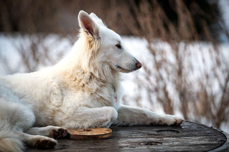 young female white dog outdoor in a snowing landscape