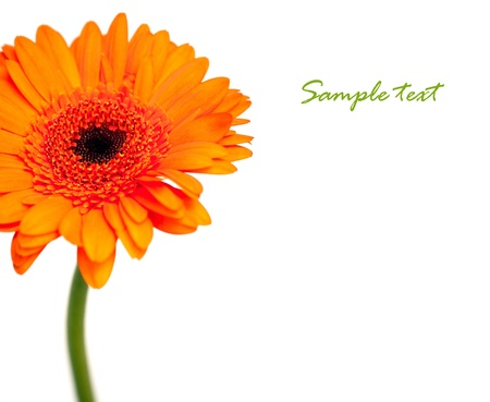 orange gerbera flower isolated on white background with space for text