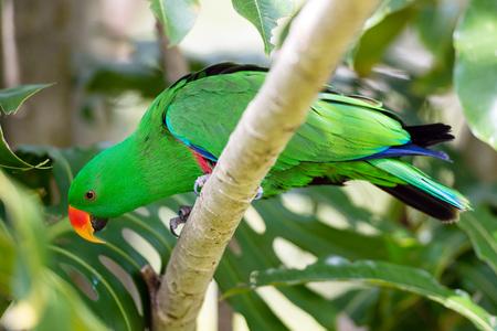 periquito: Parakeet del Alexandrine sentado en una rama de �rbol Foto de archivo