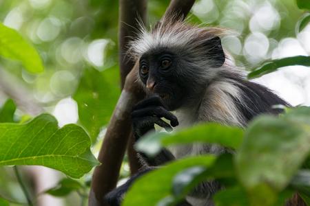Endangered Zanzibar red colobus monkey (Procolobus kirkii), Jozani forest, Zanzibar island, Tanzania Stock Photo