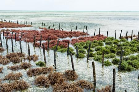 Rows of seaweed on a farm, Jambiani, Zanzibar