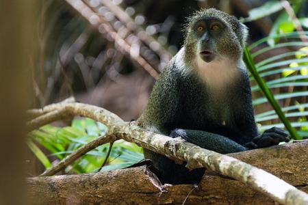 Gray monkey, Jozani Forest NP, Zanzibar Stock Photo