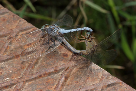 Two dragonfly photo