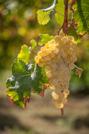 lambrusco: white grape