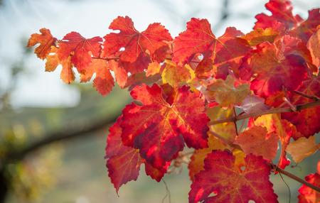 lambrusco: vineyard leaf