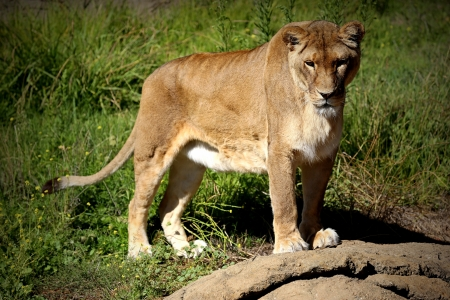 Female lion standing with curious stare photo