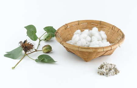 organic cotton: Cotton plant and seed Stock Photo