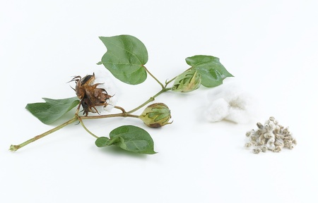 cotton plant: Cotton plant and seed Stock Photo