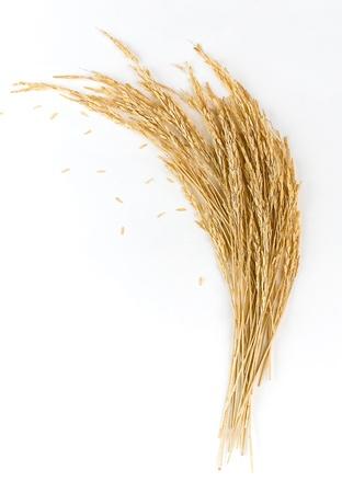 arroz blanco: Espigas de oro del arroz Foto de archivo