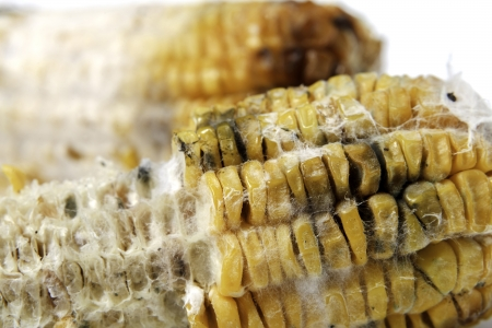 fungal: close up of rotten grilled corn with fungus