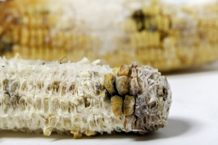 close up of rotten grilled corn with fungus