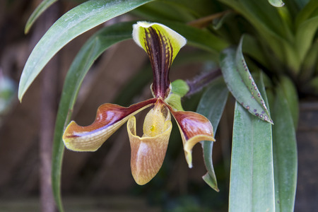 lady slipper: Lady Slipper Orchid Paphiopedilum