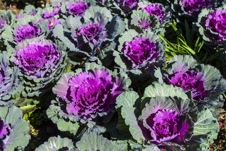 ornamental garden: Ornamental Cabbage in a garden Stock Photo