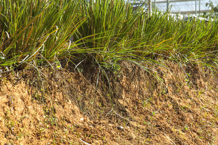 Vetiver glass protecting soil slide in vegetable farm
