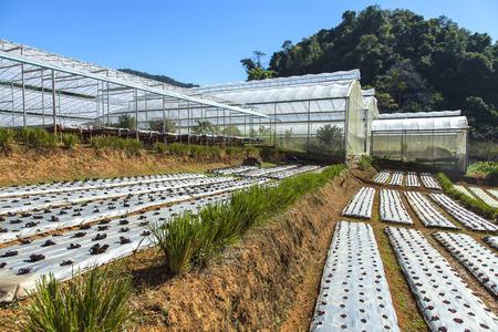 slide glass: Vetiver glass protecting soil slide in vegetable farm