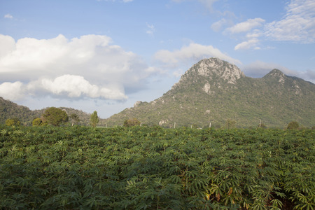 potato tree: Cassava field with mountain background, Thailand