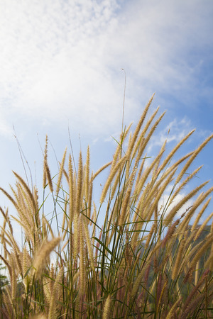 fluffy: Fluffy grass and cloudy sky