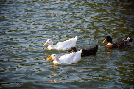 white and black duck floating in the pond
